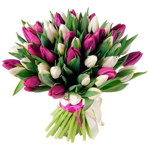 Фото товара 51 біло-пурпурний тюльпан (зі стрічкою)