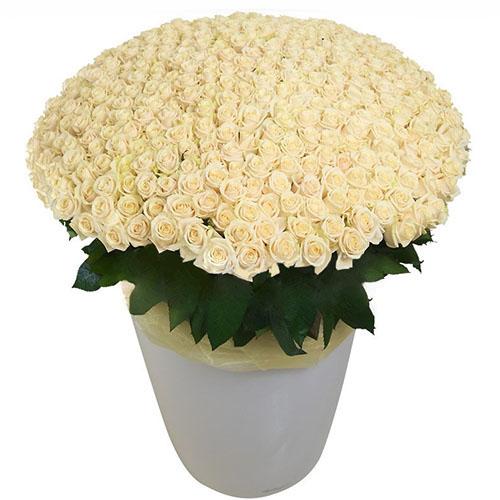 Фото товара 301 біла троянда у великому вазоні