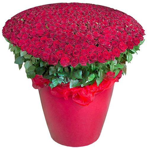 Фото товара 301 червона троянда у великому вазоні