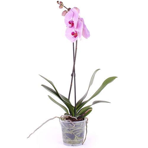 Фото товара Орхідея